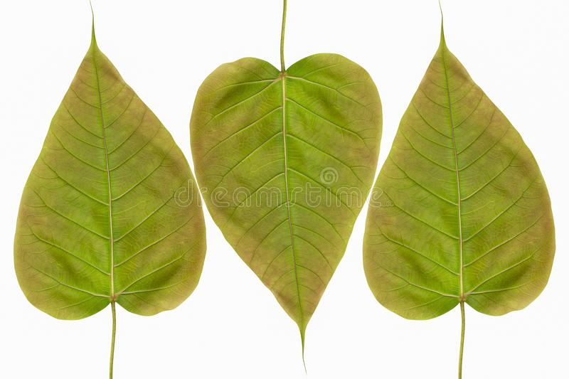 Spotted sicklefish heart shaped leaf isolated on white background stock image