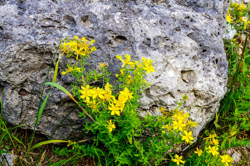 Spotted St. Johns Wort. Yellow Spotted St. Johns Wort in the wild. Beautiful with many medicinal purposes royalty free stock photography