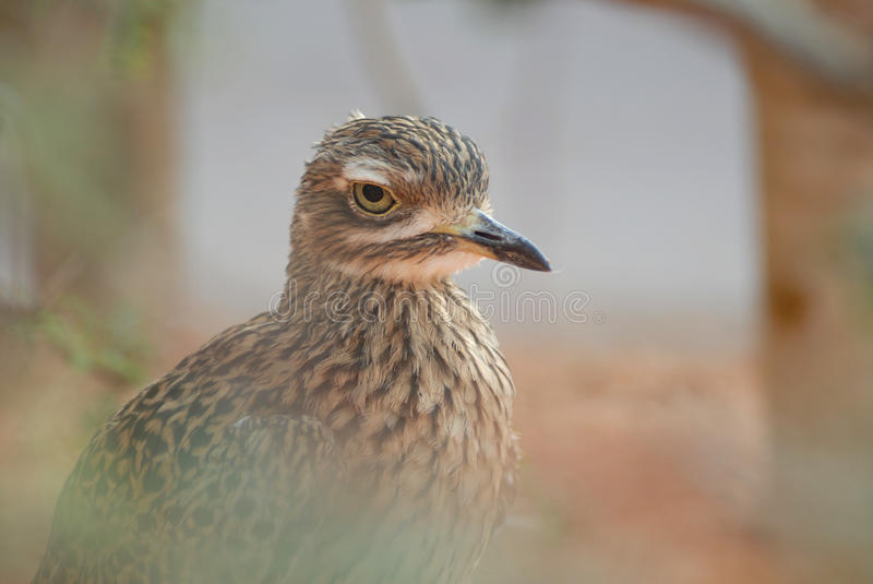 Spotted Thick Knee. Cape spotted thick knee at Henry Doorly Zoo Desert Dome stock image