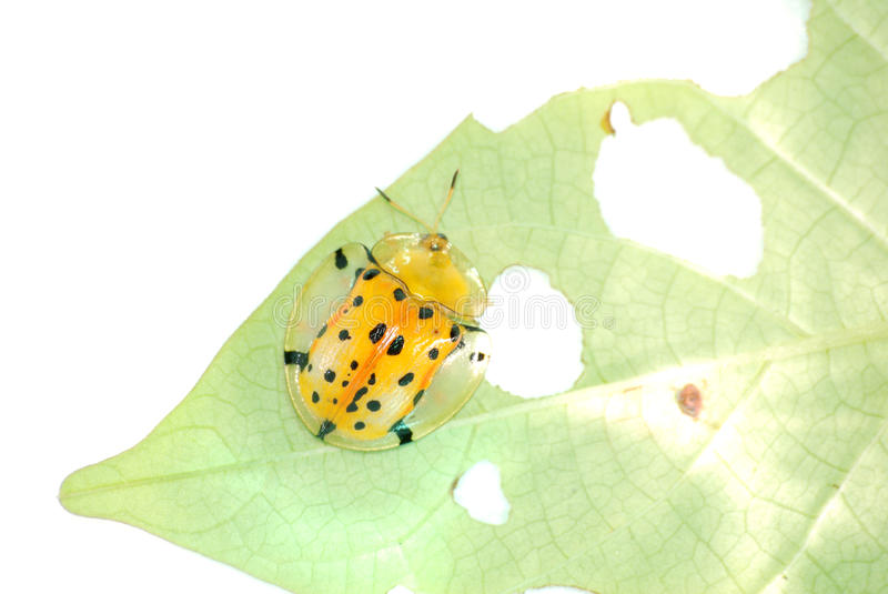 Download Spotted tortoise beetle stock photo. Image of golden - 10697040