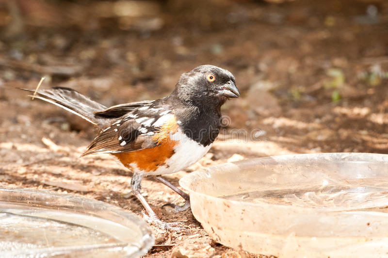 Download Spotted Towhee stock image. Image of sides, maculatus - 19517327