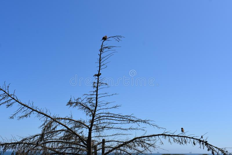 Spotted Towhee in a very bare tree against a very blue sky, 2. stock images