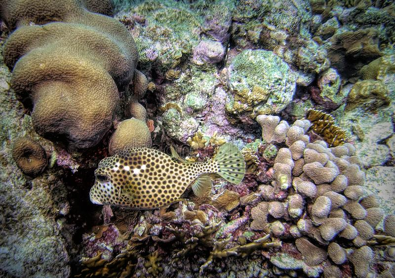 Spotted Trunkfish Hovers Over Star Coral. Spotted Trunkfish are found throughout the Caribbean Sea on shallow coral reefs; The trunkfish secretes a colorless royalty free stock photo