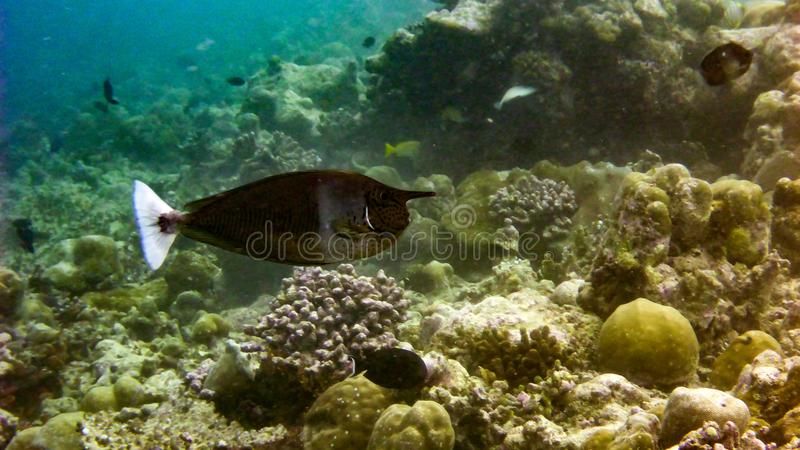 Spotted unicornfish Naso brevirostris in the tropical waters of Maldives. Spotted unicornfish Naso brevirostris in the tropical waters of Maldives royalty free stock photos