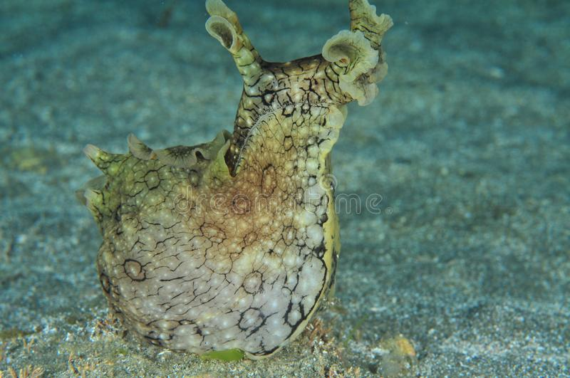 Spotted sea hare with head up. Spotted variable sea hare Aplysia dactylomela raising head high up on flat sandy bottom stock photos