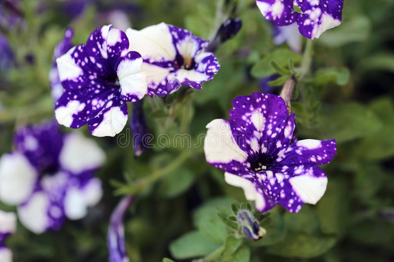 Spotted White & Purple Pansy Flowers with Green Leaves Photographed in Madeira stock photography