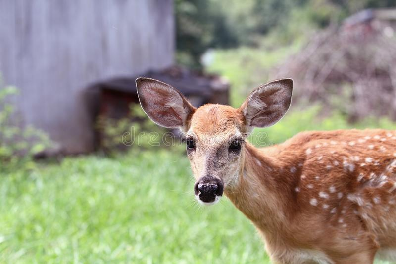 A Spotted White tailed Deer Fawn stock photos