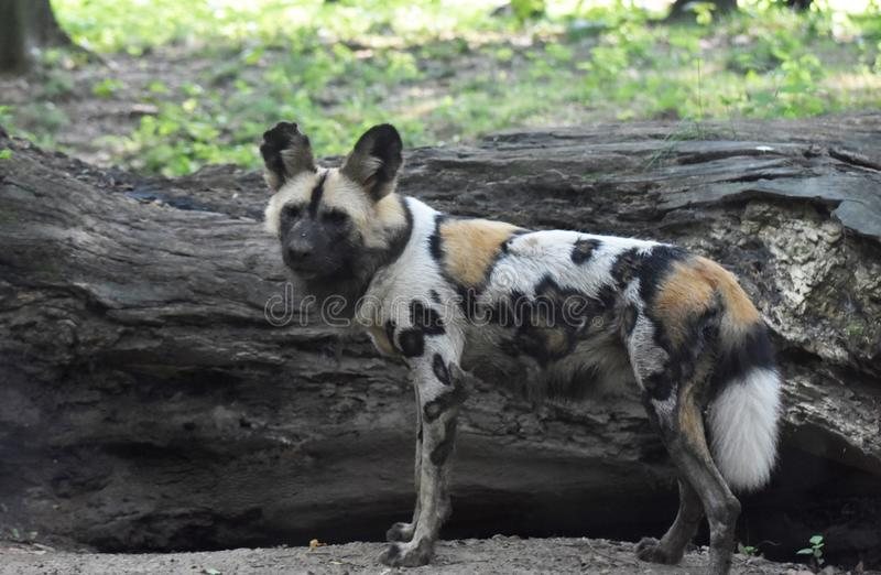 Strong wild african dog looking off into the distance. Spotted wild african dog looking off into the distance stock photo