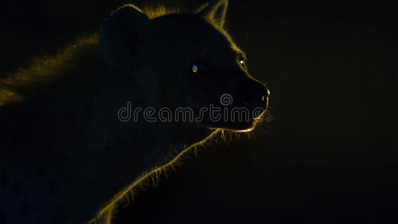 A spotted wild hyena searching for food to scavenge near the city borders of Harar in Ethiopia stock photography