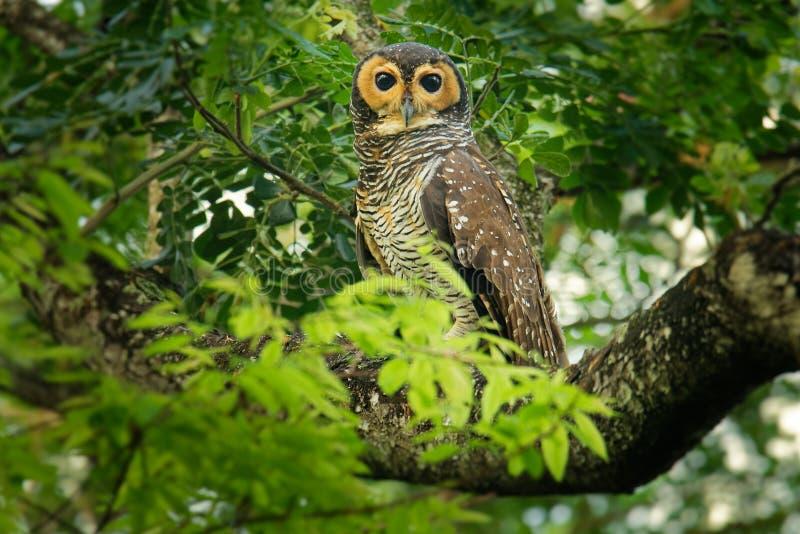 Spotted Wood-Owl - Strix seloputo, owl of the earless owl genus Strix. Three subspecies are seloputo, wiepkini and baweana yellow wildlife tropical tree stock photography