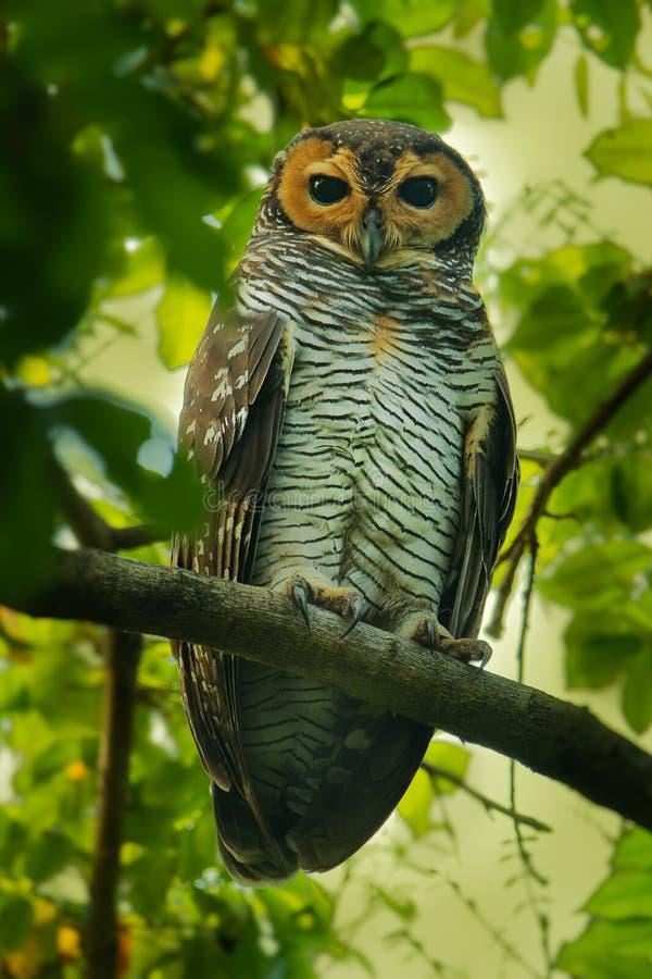 Spotted Wood-Owl - Strix seloputo, owl of the earless owl genus Strix. Three subspecies are seloputo, wiepkini and baweana yellow wildlife tropical tree stock photos