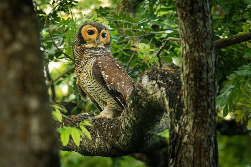 Spotted Wood-Owl - Strix seloputo, owl of the earless owl genus Strix. Three subspecies are seloputo, wiepkini and baweana yellow wildlife tropical tree royalty free stock photo