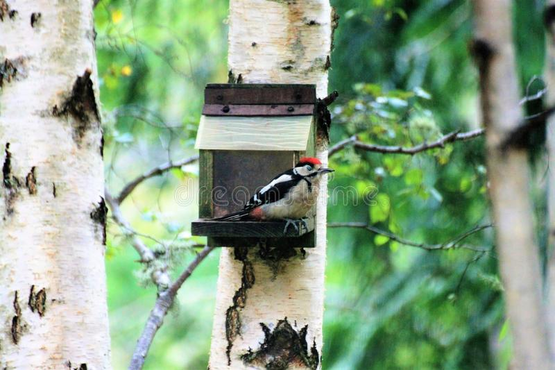 Spotted woodpecker sitting on a feeder on a birch tree. In Scotland stock image