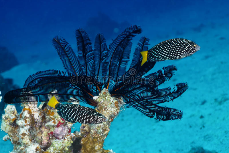 Spotted wrasse. (Anampses meleagrides Valenciennes) on black cronoid in the Red Sea, Egypt stock images