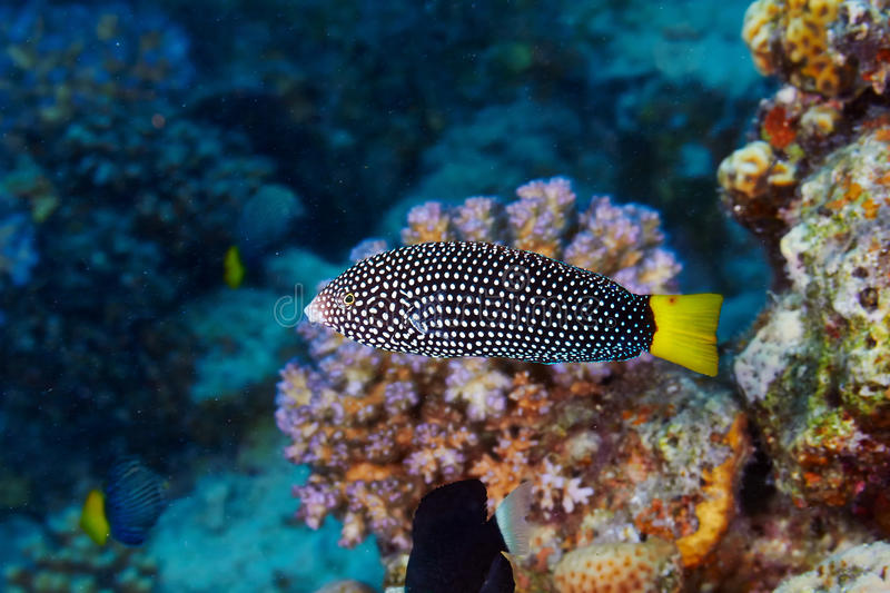 Spotted wrasse. (Anampses meleagrides) in the Red Sea, Egypt royalty free stock images