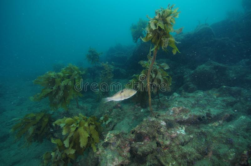 Wrasse at rugged underwater reef royalty free stock images
