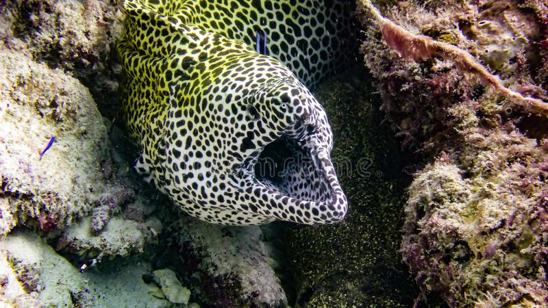 Spotted Yellow Moray Eel from the tropical Maldives. stock photography