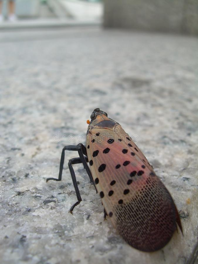 Spottend Lanterfly,在翼的特写镜头 库存照片