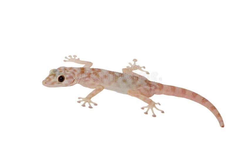 Spotty gecko