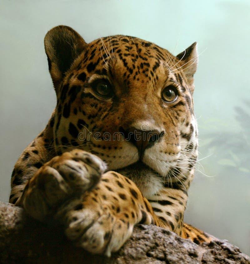 Spotty jaguar stock foto