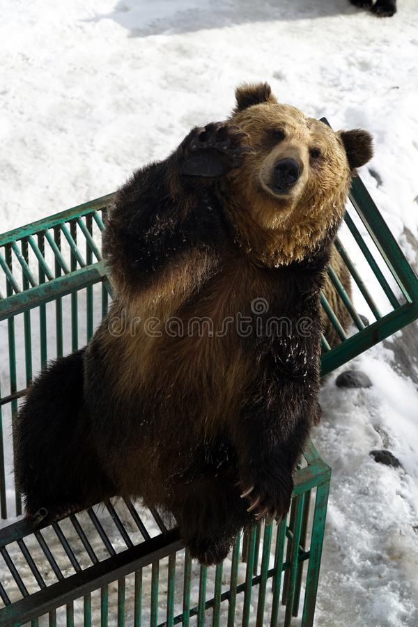 Spotyka niedźwiedzia brunatnego obraz royalty free