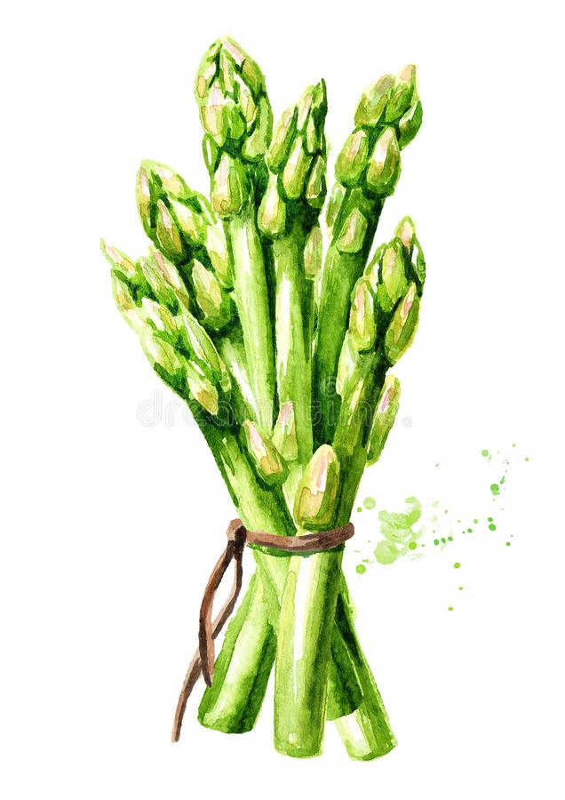 Sprösslinge des frischen grünen Spargels, Aquarellhandgezogene Illustration, lokalisiert auf weißem Hintergrund vektor abbildung