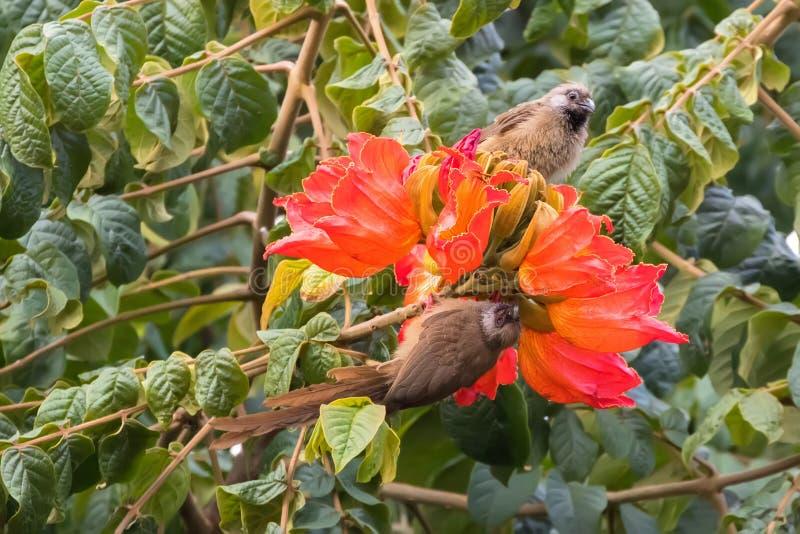 Spräckliga mousebirds, fågel med den långa svansen på orange blommor av den afrikanska inTanzaniaen för tulpanträd, Afrika arkivbilder