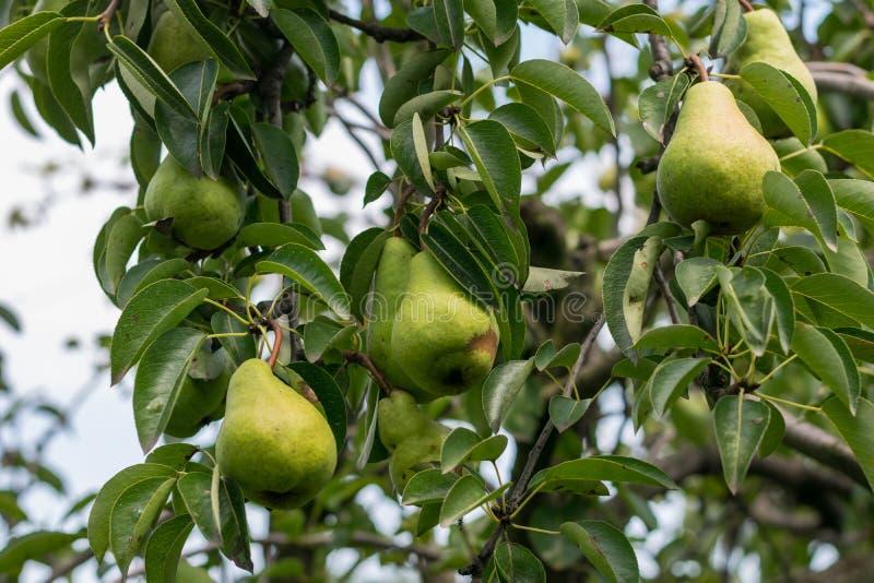 Sprätte upp nya organiska gröna omogna päron med naturlig sidabakgrund royaltyfri bild