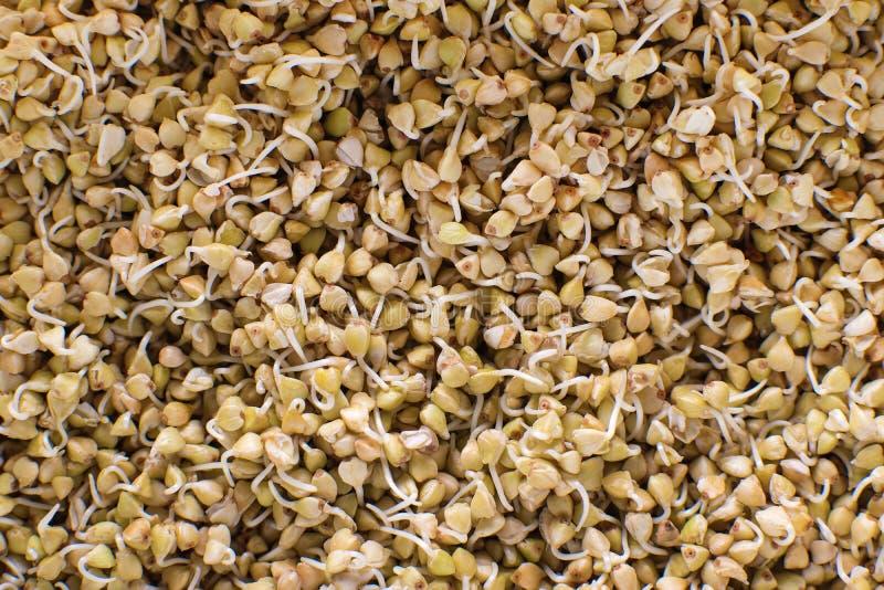 Sprösslinge der grünen Buchweizenhintergrund-Musterbeschaffenheit Strenger Vegetarier keimte Sprösslinge Buchweizenbreinahrung de lizenzfreie stockfotos