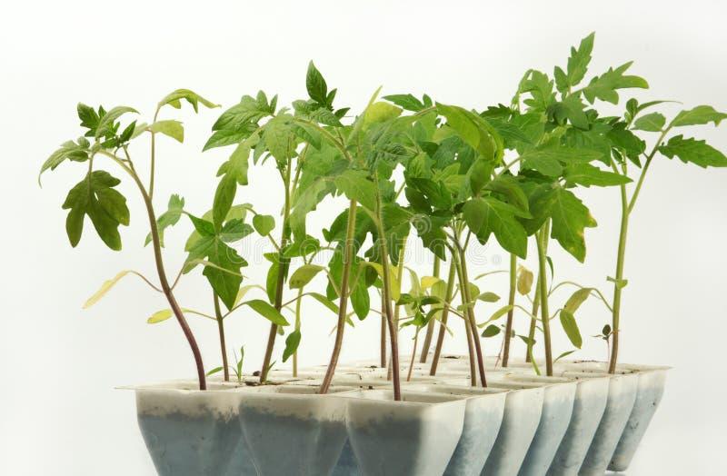 Download Sprösslinge einer Tomate stockbild. Bild von gewächshaus - 9076659