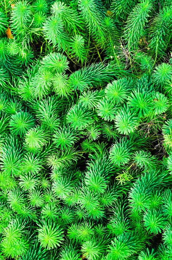 Sprösslinge von Euphorbiengummi cyparissias, die Zypressen-Wolfsmilch, ist Pflanzenart in der Klasse Euphorbiengummi stockfotografie