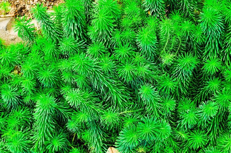 Sprösslinge von Euphorbiengummi cyparissias, die Zypressen-Wolfsmilch, ist Pflanzenart in der Klasse Euphorbiengummi lizenzfreie stockfotos