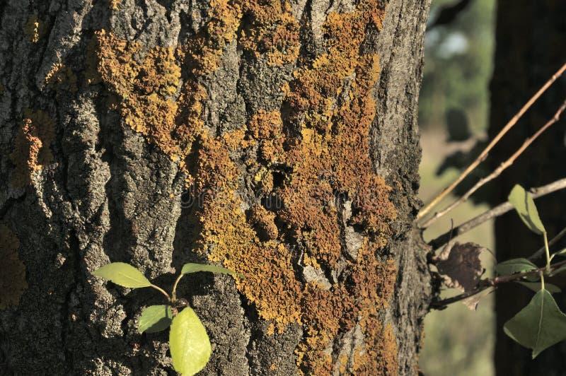 Sprünge der alten Eichenbarke in den Plätzen umfasst mit gelbem Moos Grüne Blätter glüht in die Strahlen der Sommersonne Die natü lizenzfreie stockbilder
