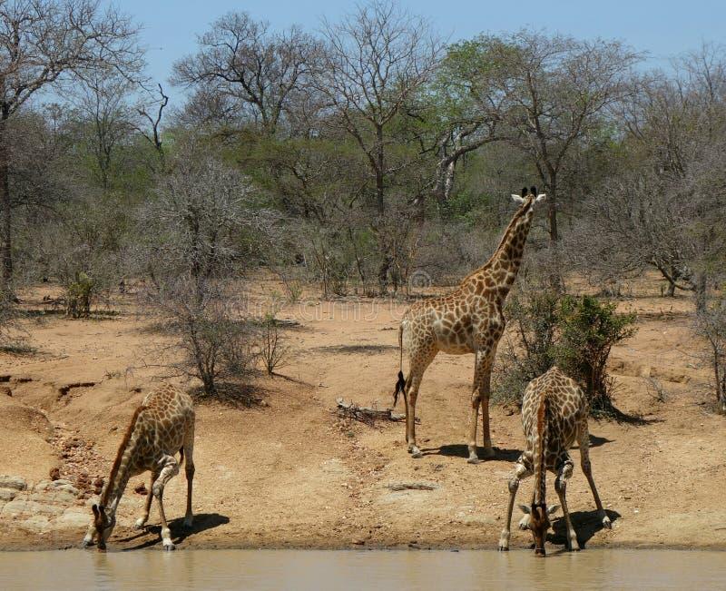 Spragniona dziecko żyraf woda pitna obrazy royalty free