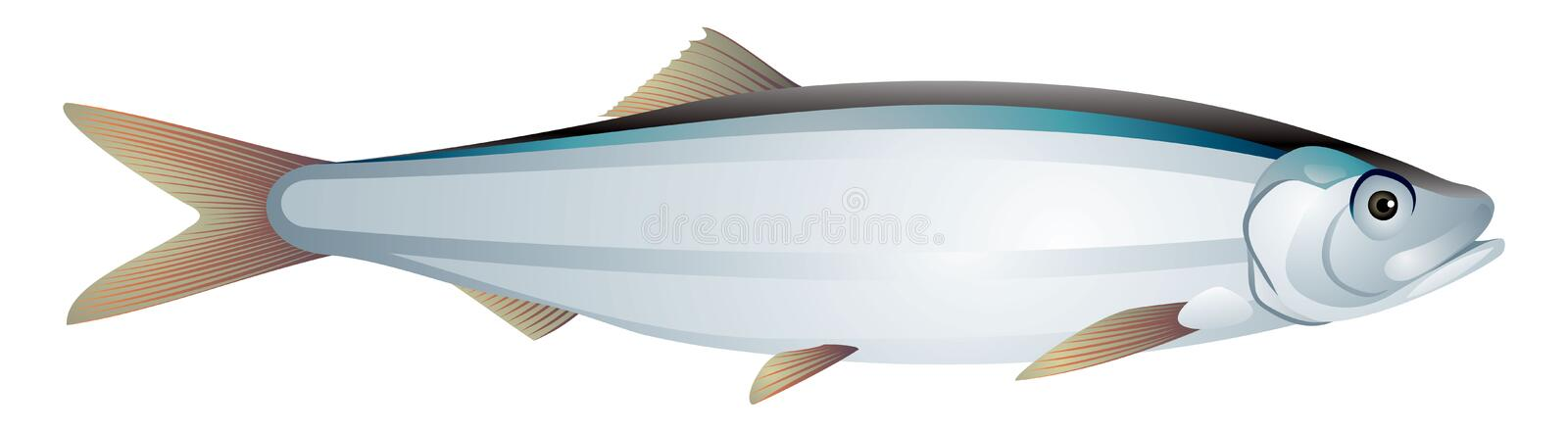 Sprat fish realistic vector illustration stock images