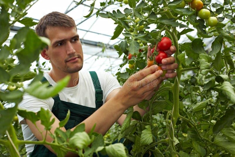 sprawdzać rolnika jego pomidory zdjęcie royalty free