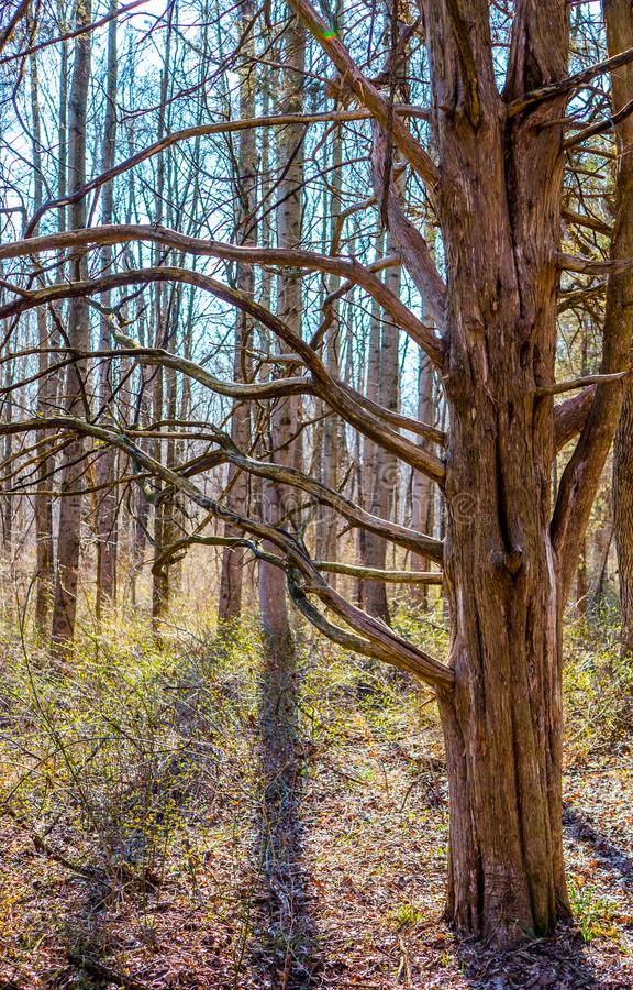 Wild looking tree with winding branches. royalty free stock photography