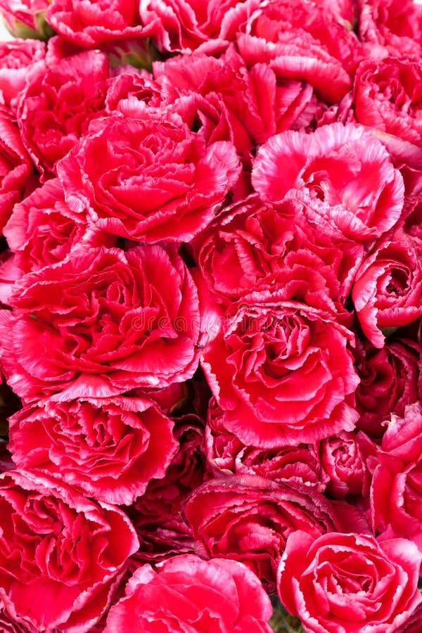 Spray carnation flower. Close up spray carnation flower stock photos
