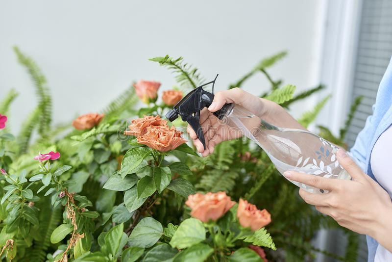 Sprayer in a woman`s hand, sprinkling potted azaleas royalty free stock images