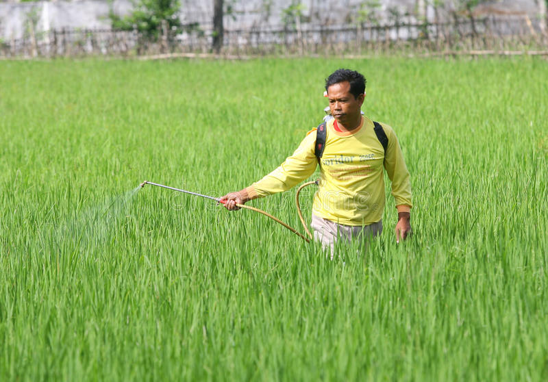 Spraying. Farmers spraying insecticides to eradicate pests in Boyolali, Central Java, Indonesia royalty free stock image
