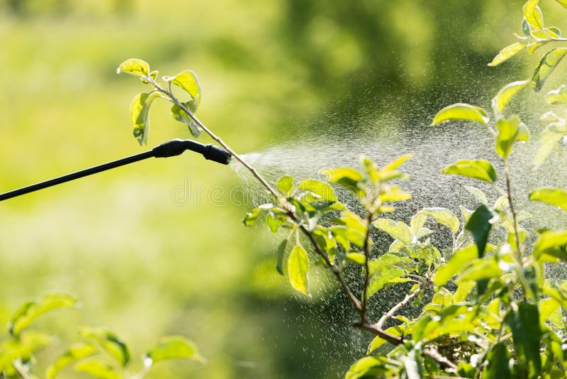Spraying of fruit tree from pests royalty free stock photo