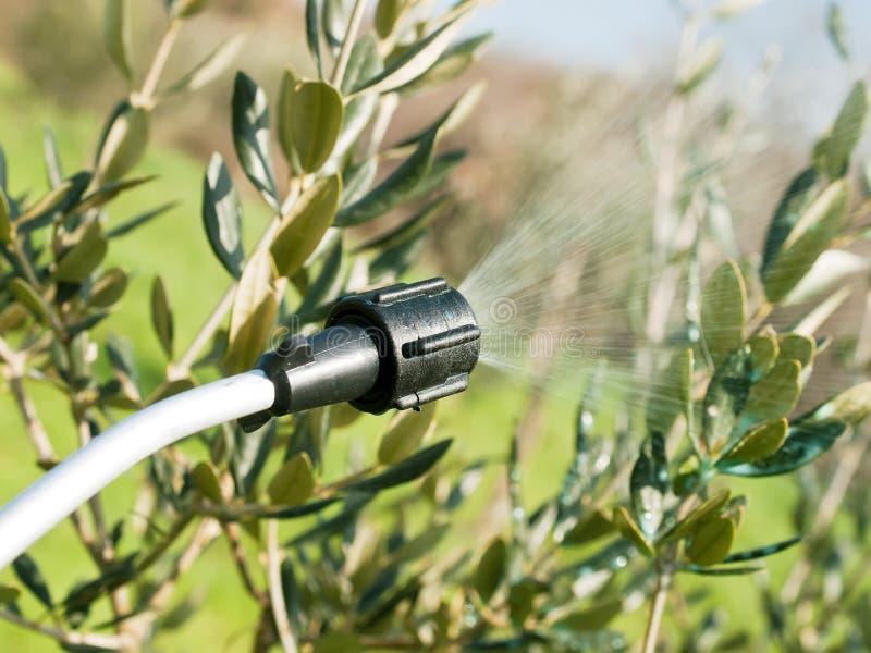 Spraying olive tree royalty free stock photo