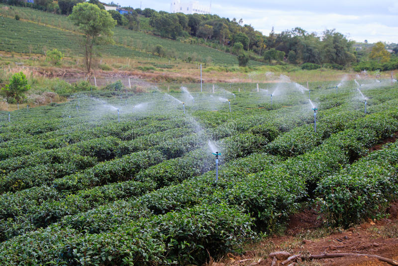 Spraying tea field on the hill. Spraying tea field at the farm royalty free stock photos