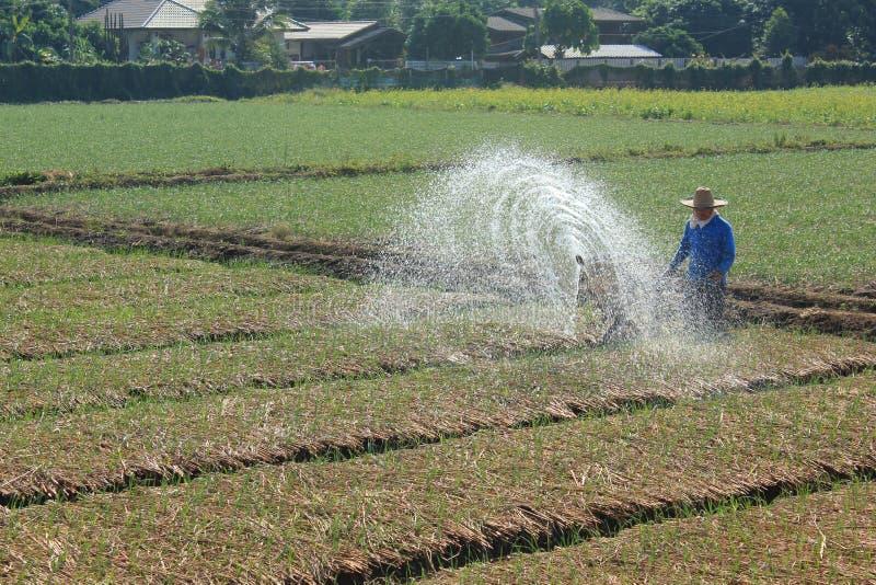 Spraying water in rice. royalty free stock photos