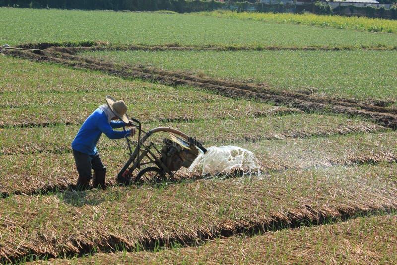 Spraying water in rice. stock photo
