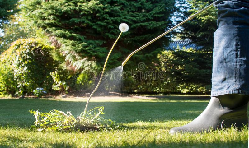 Spraying weeds in the garden. Against a dandelion royalty free stock image