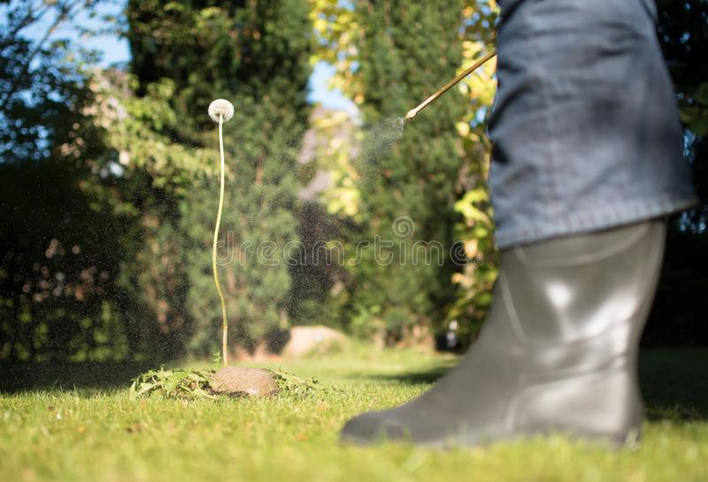 Spraying weeds in the garden. Against a dandelion stock photography