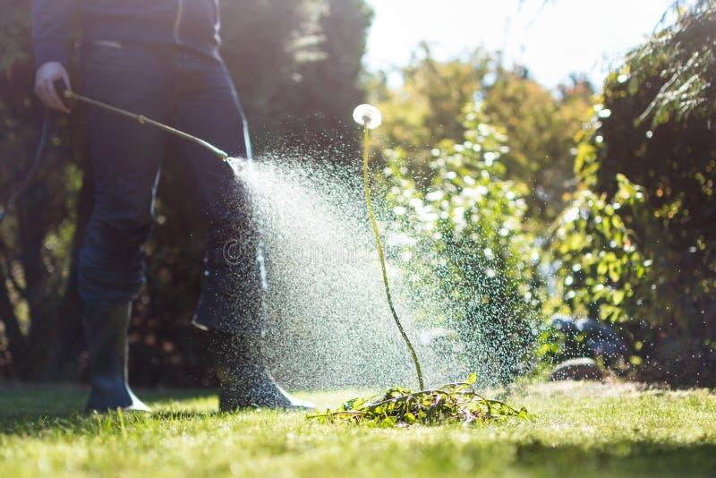Spraying weeds in the garden. Against a dandelion stock photos