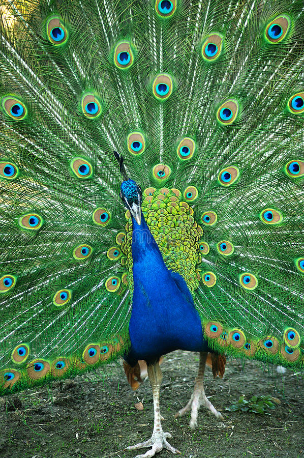 Download Spread of a peacock stock photo. Image of animal, fauna - 28147842