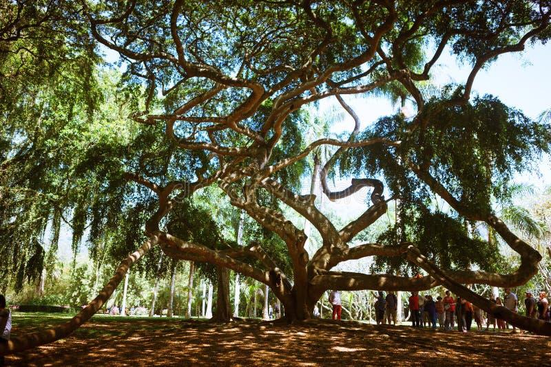 The spreading crown of the old ficus of Benjamin in Paradeniya Royal Botanical Garden of Kandy, Sri Lanka stock photo